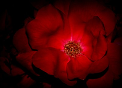 Rose in the Shadows