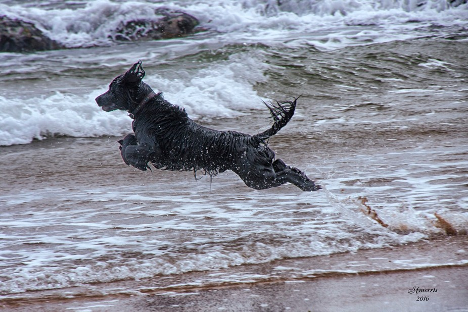 Black spaniel jumping in to ocean. Taken in Scotland near Dornoch.