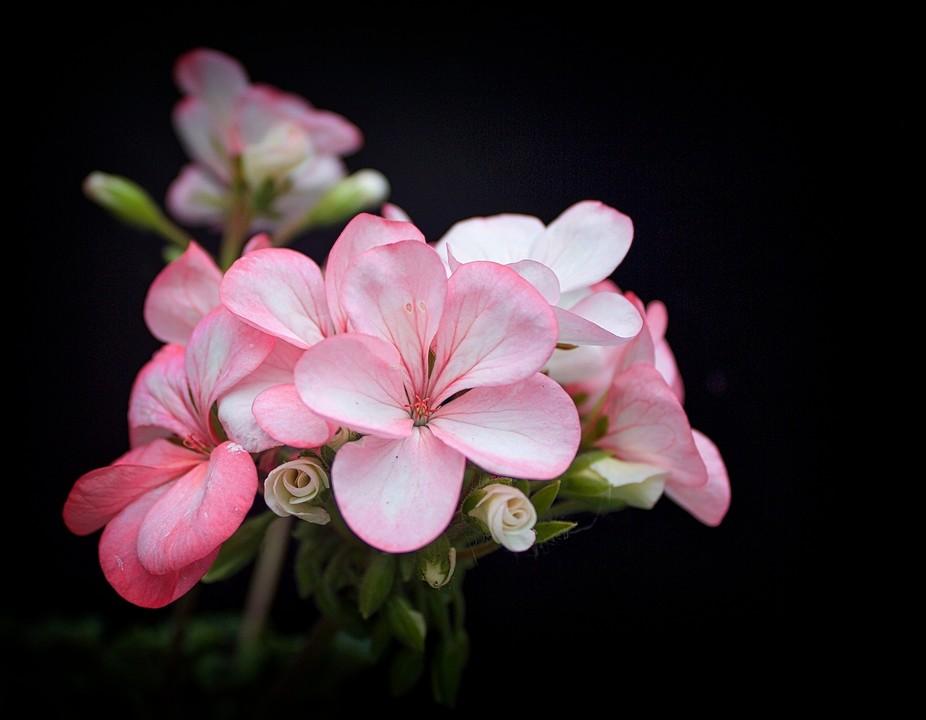 geranium on black