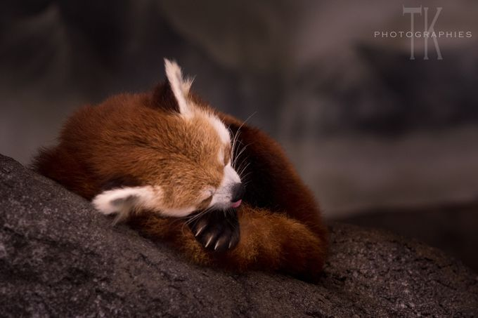 Sleepy Panda by tk_photographies - Soft Photo Contest