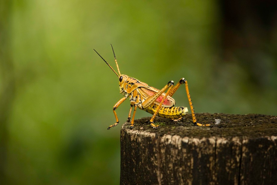 The Lubber Grasshopper. I found this guy in the northern tip of the Everglades. It's bea...