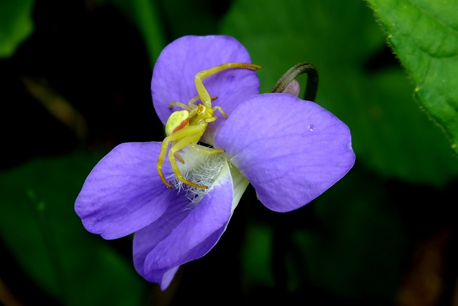 A  tiny crab spider rests on a wild violet near Mine Center, Ontario - Canada.