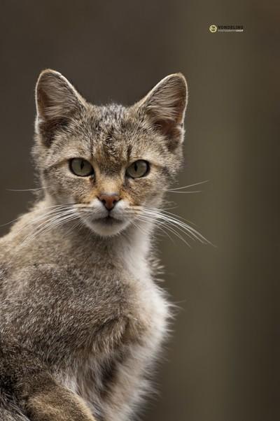 European Wild kitten close up, Anholter Schweis
