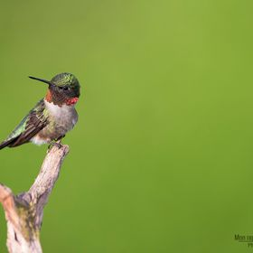 Hummingbirds background a big migration to Quebec