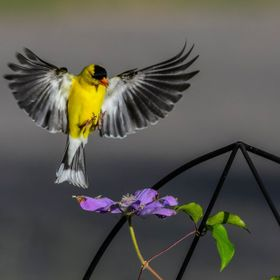 I was trying to capture this Golfinch in flight with this purple bloom as he landed .....