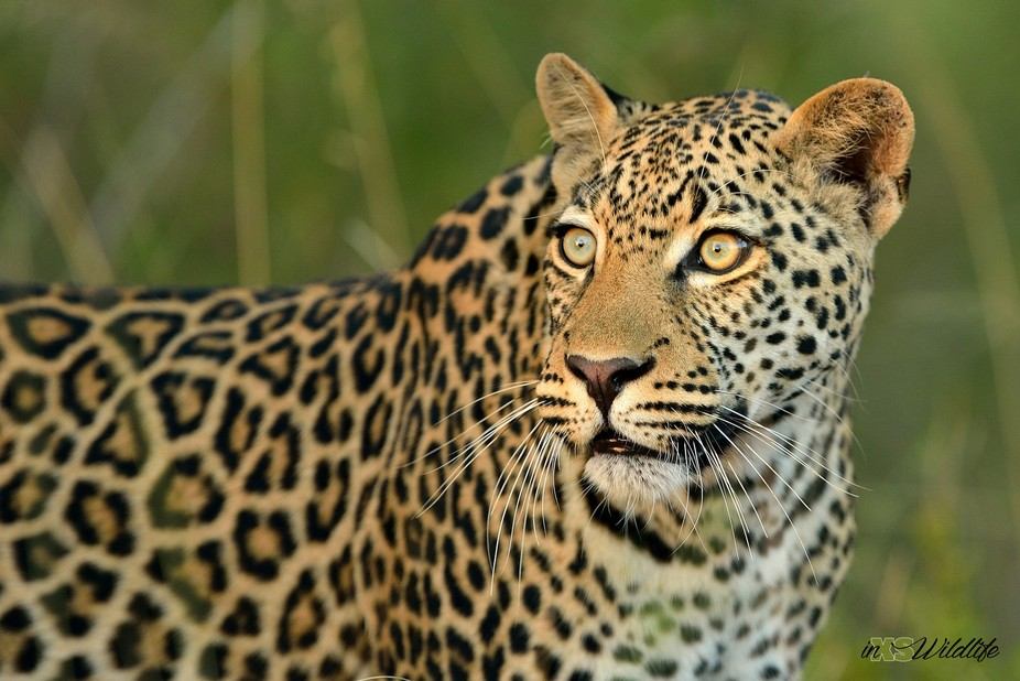 Leopard_Lower Sabie