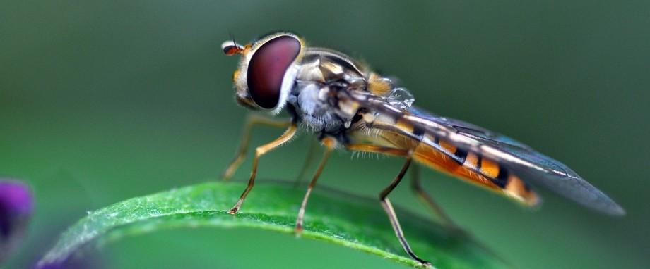 Unedited Macro photo of a Hornet