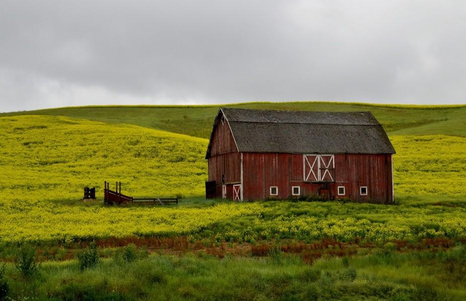 Barn in eastern Washington state among the fields of Mustard