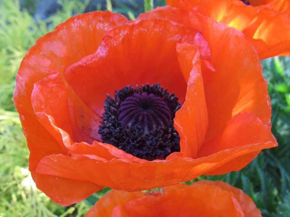 Poppy (2016-06-15 07.48.31 copy)