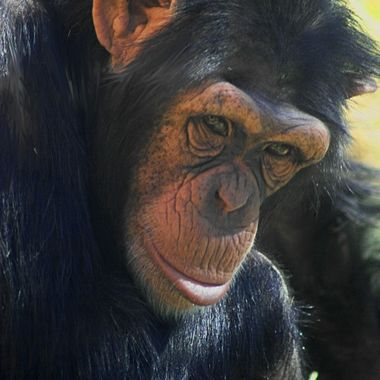 Chimpanzee gaze
