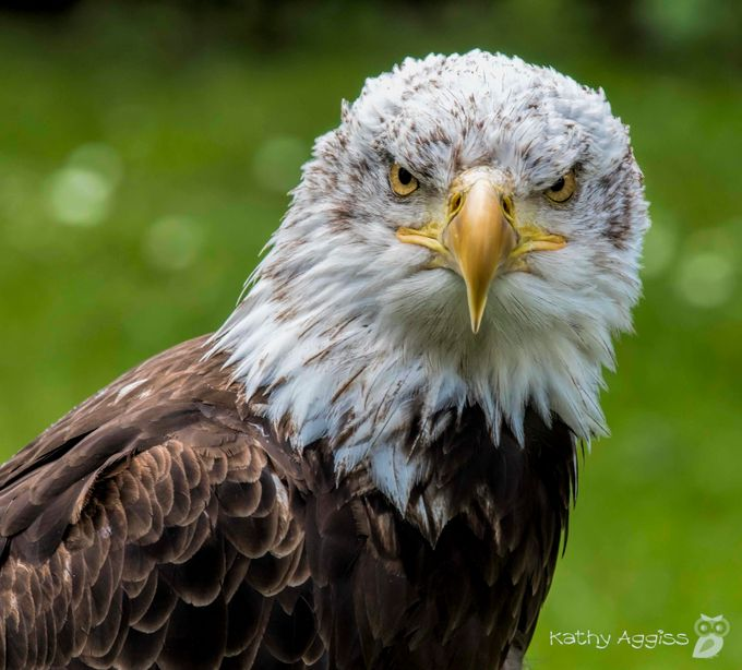 C'mon Punk, Make my day! by kathaggiss - Just Eagles Photo Contest