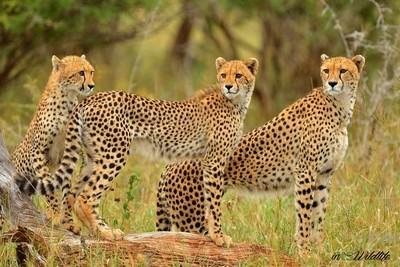 Cheetah Trio
