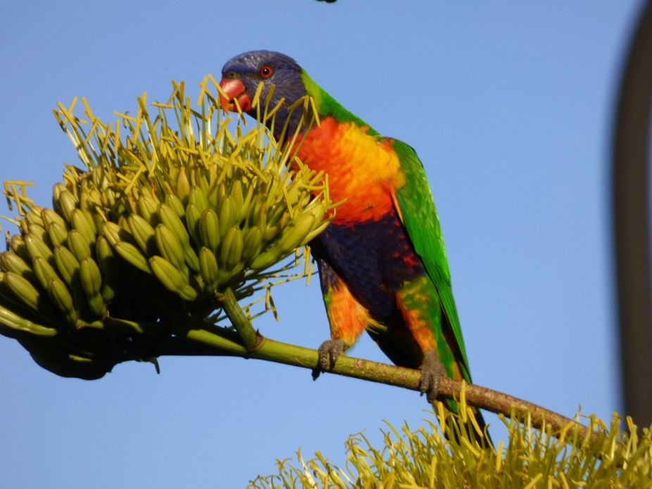 Out the front of my home in Beerwah, Queensland. The lorikeets love eating the flowers off my Aga...