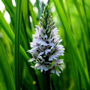White Wild Orchid