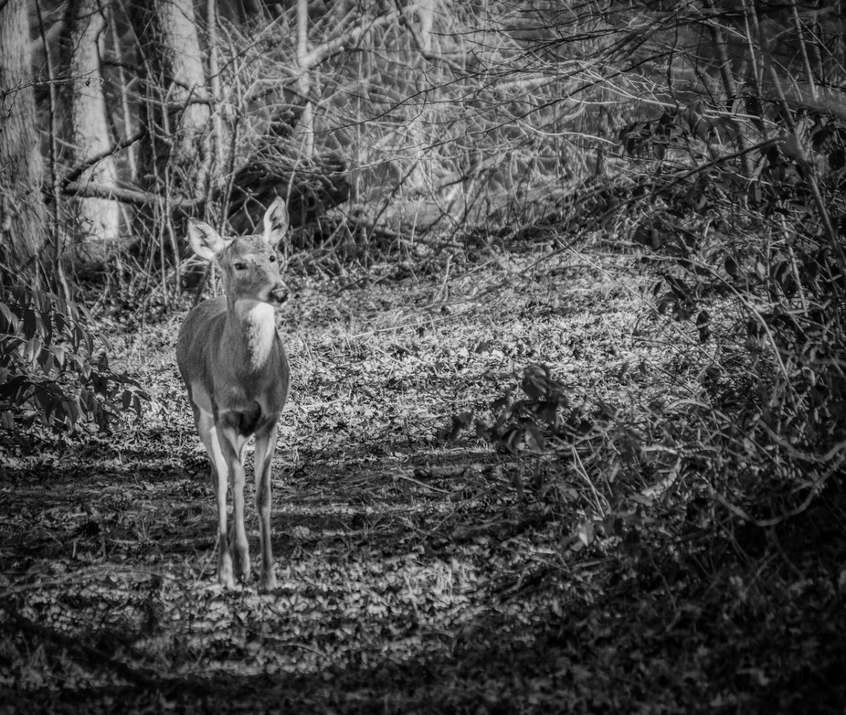 Black and White Deer HDR
