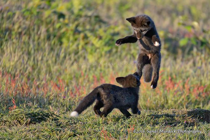 The Art of the Pounce - Red Fox Kits by PNWnative - My Best Shot Photo Contest Vol 3
