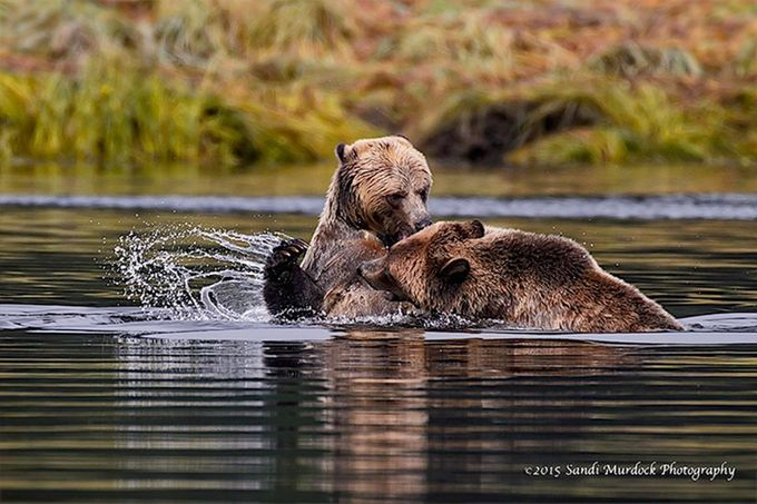 Family Spat - Coastal Brown Bear Cubs by PNWnative - Get Wet Photo Contest