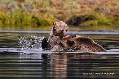 Family Spat - Coastal Brown Bear Cubs