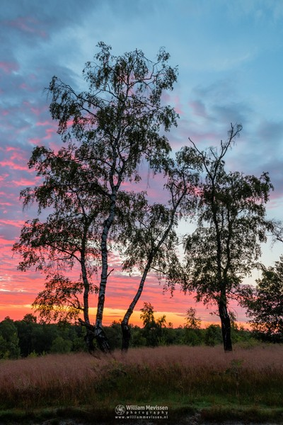 Colorful Twilight Birches