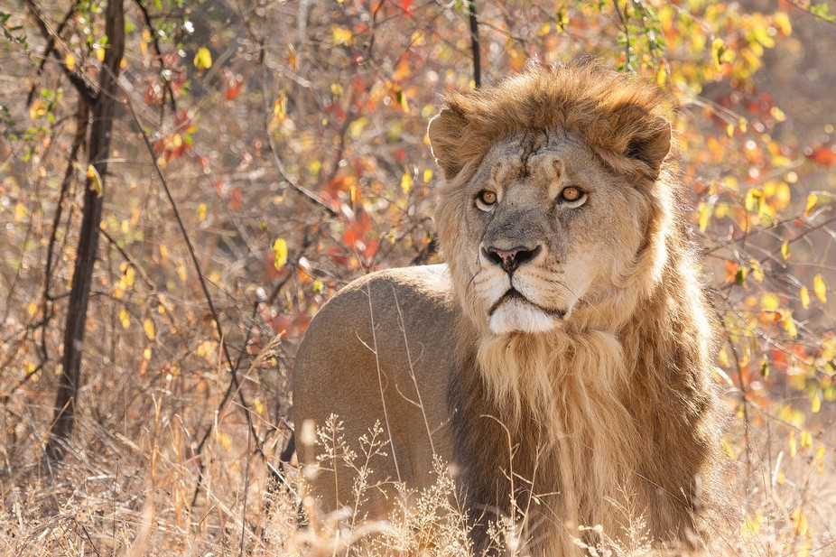 After a 5 hour stalk, I eventually got close enough to take a few photos of a wild african lion. ...