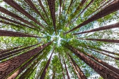 Californian Redwood OtwaysVictoria
