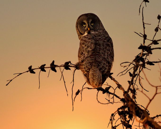 Watching Sunset by patgriffin - Only Owls Photo Contest