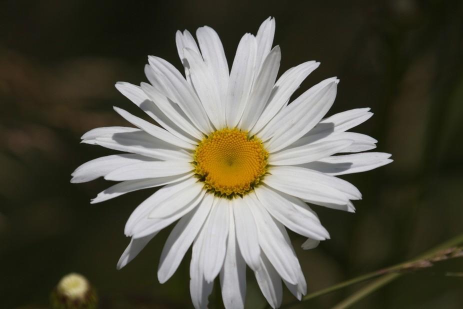Shasta Daisy  IMG_3757