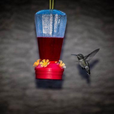 hummingbird-0195