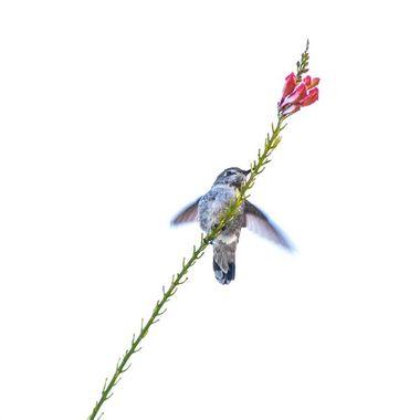 I caught a hummingbird just as it landed, wings still aflutter,