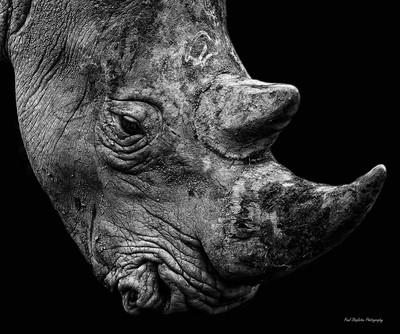 Rhino Head B&W