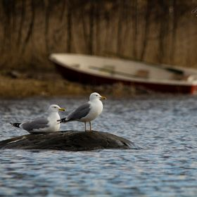 A pair of European herring gull keeping watch over the fjard an early spring day. Rådmansö, Sweden.