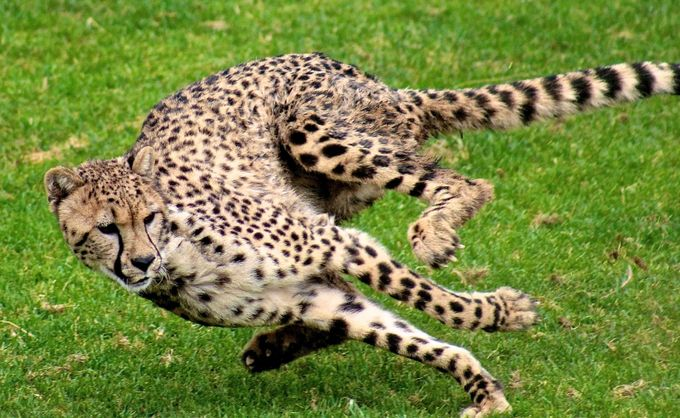 Cheetah Run by IsabellaQuiroz - Fast Photo Contest