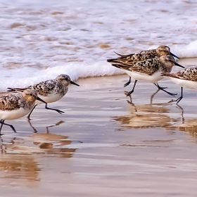 Golden Plover wading birds enjoy the water of St. Ives Bay in Cornwall, UK.