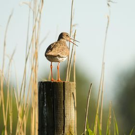 A common redshank on watch gives its call a warm summer evening under the setting sun. Rådmansö, Sweden.