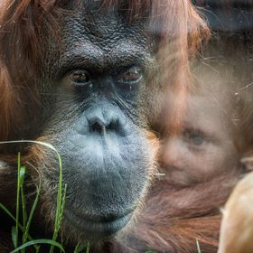 In Vienna zoo, the orangutans spend time watching us behind windows...