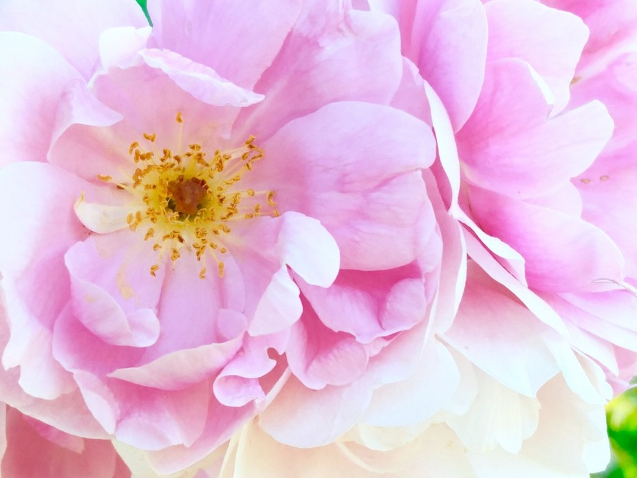 A showy fragrant rose with a cupped flower shape. This thorned beauty blooms late spring, early s...