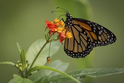 Monarch - I