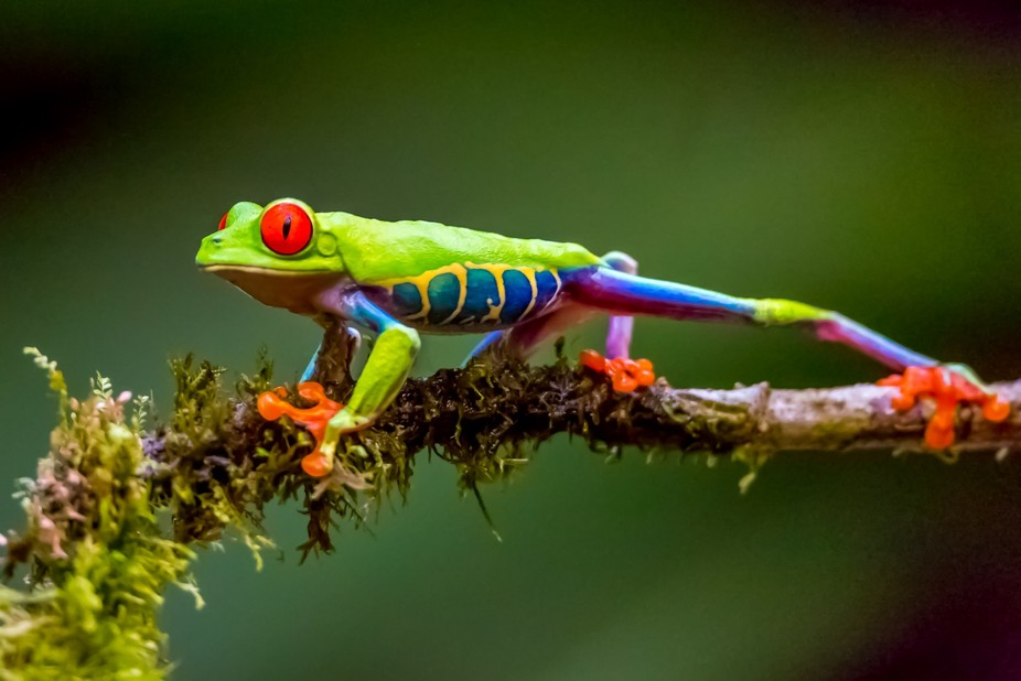 Costa Rica. Red Eye Tree Frog.