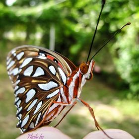 This BEAUTUFUL Gulf Fritilliary butterfly climbed onto my finger knuckles to take a look at me.