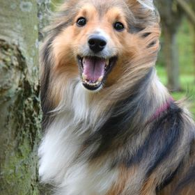 This is one of my all time favourite photos i have taken of my sheltie Benji. This was taken last November at Gildredge Park, one of the parks he...