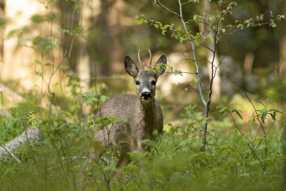 Roebuck in the deep forest of the Northern Velebit National Park (Croatia)