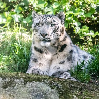 Snow Leopard Gaze