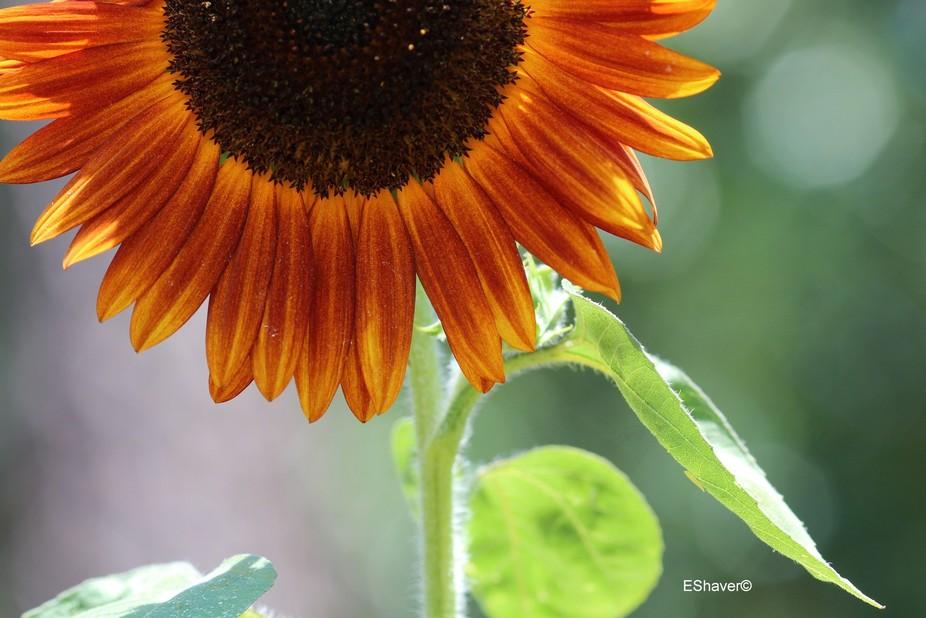 Crimson Queen Sunflower