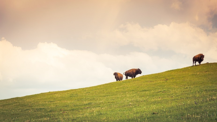 Buffalo on a hill in central Alberta, Canada