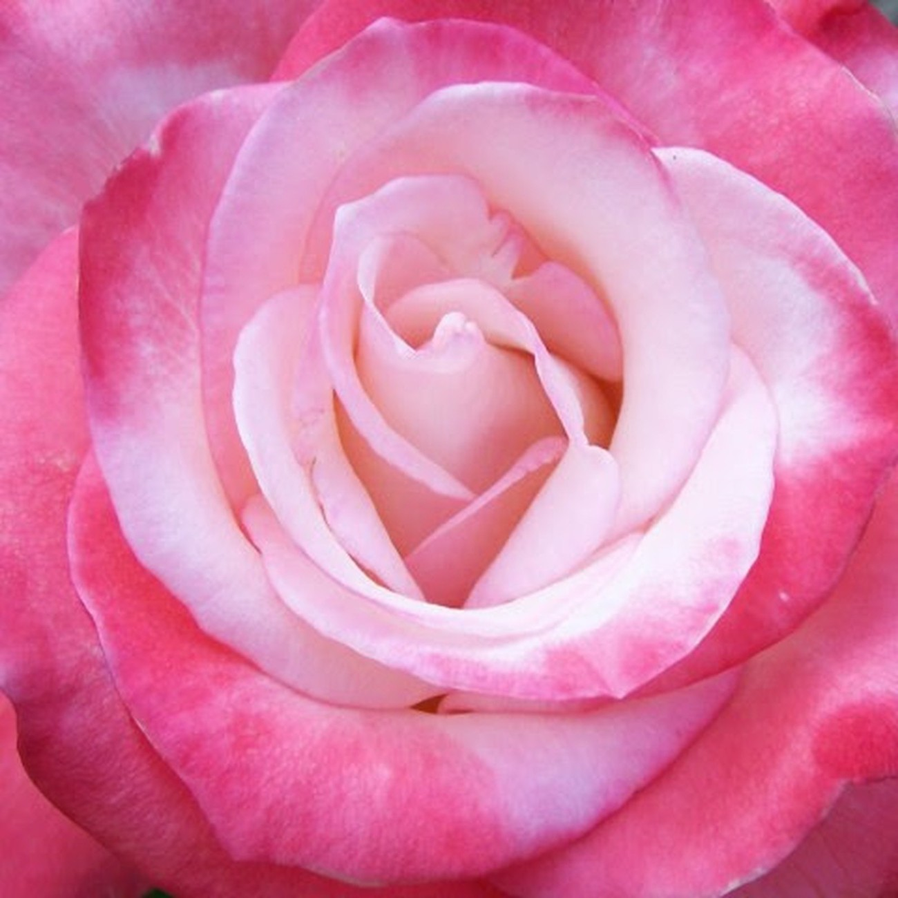 A true masterpiece of the master rose grower!