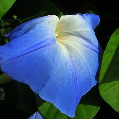 Morning Glory Heart