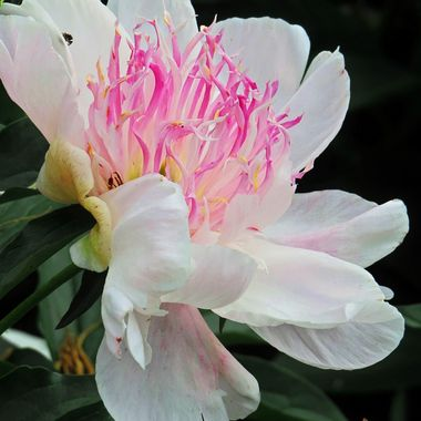 Rhododendron at Nathaniel Green