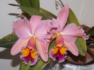 Orquídeas (Orchids)