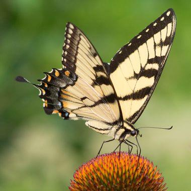 Swallowtail five