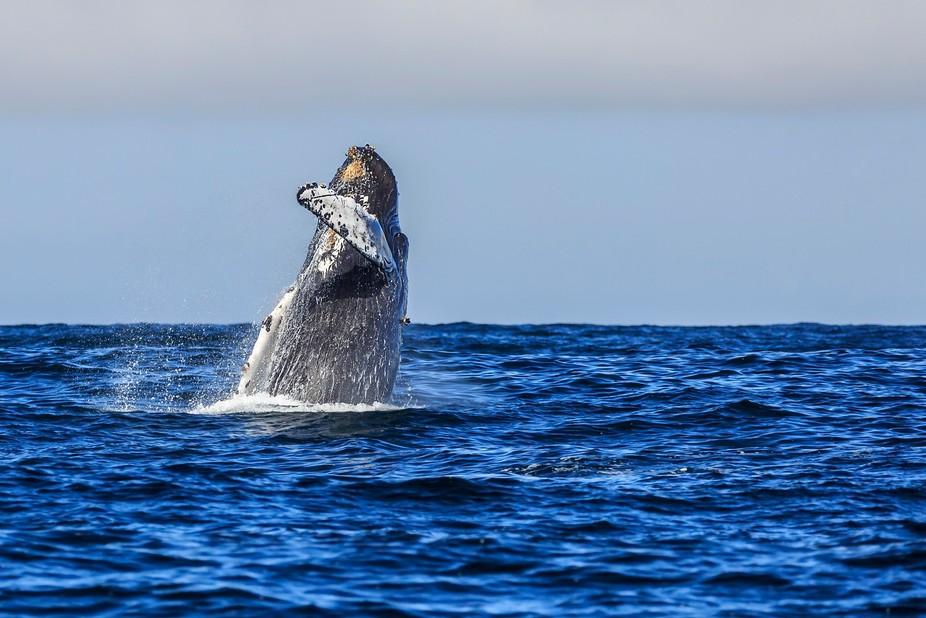 Humpback breaching in Monterey Bay